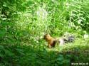 Eekhoorn bij de hut, Finland