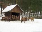 Dit geiten en bokken kunnen wel tegen de kou, Duitsland