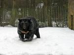 Kraagbeer in de sneeuw, Eifel-Zoo, Duitsland
