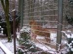 Leeuwin in een veel te klein hok, Eifel-Zoo, Duitsland