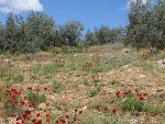 Klaprozen in de Peloponnesos, Griekenland
