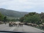 Schapen op de weg, Griekenland