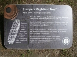 De machtigste conifeer in Europa?, Schotland