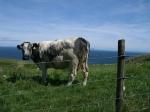 Koe op Kintyre, Schotland