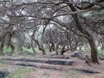 Netten in een olijfgaard, Griekenland