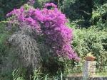 Bloeiende struik op Korfoe, Griekenland