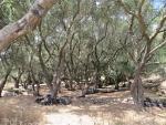 Olijfgaard bij Krini, Griekenland