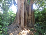 Indrukwekkende boomstam in Mon Repos, Griekenland