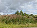 Heide langs de A837, Schotland
