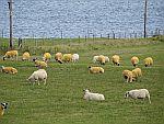 Geelgeverfde schapen, Iona, Schotland