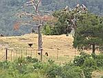 Gieren spotten in het Dadiawoud, Griekenland