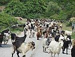 De geiten komen ons tegemoet, Griekenland