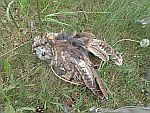 Een dode uil, Schotland