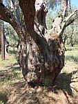 Dikke stam van een olijfboom, Kalamos, Griekenland