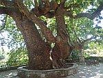 1000-jarige plataan in Tsangarada, Griekenland