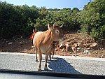 Koe met kalfje op de weg in de Pilion, Griekenland
