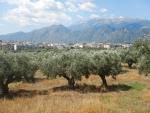 Olijfboomgaard bij Sparta, Griekenland