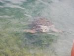 Onechte karetschildpad in Argostoli, Kefalonië, Griekenland