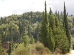 Pijnbomen bij Agios Nikolaos, Kefalonië, Griekenland