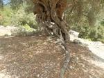 Knoestige boom op Kefalonië, Griekenland