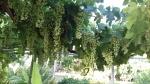Druiventrossen op ons terras, Zacharo, Griekenland