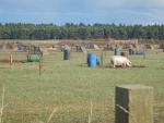 Biologische varkensboerderij bij Elgin, Schotland
