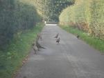 Fazanten op de weg bij Pluscarden, Schotland
