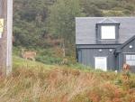 Herten bij een huis vlakbij Badcall, Schotland