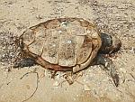 Een dode onechte karetschildpad op Evia, caretta caretta, Griekenland