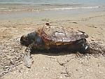 Een dode onechte karetschildpad op Evia, Griekenland