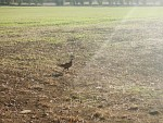Een fazant vlucht voor de auto, Schotland